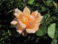 Rose 'Autumn Sunset' climbs in the Rose Garden