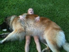 If you are one of those who like giant dogs, you will surely like our dog today. Leonberger dog is one of the largest dogs that you can ever see in your Giant Dogs, Big Dogs, Dogs And Puppies, Doggies, Massive Dogs, Puppies Tips, Love My Dog, Rare Dogs, Rare Dog Breeds