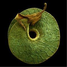 Medicago seed by Rob Kesseler