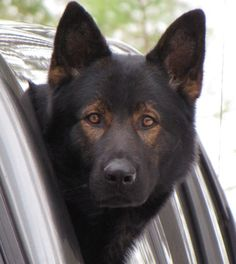 JustK9s   Kistha Haus German Shepherds. I don't just think I want him, I need him!!!