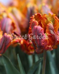 Lalele Blumex   Sweet Garden Tropical, Rose, Sweet, Garden, Plant, Candy, Pink, Garten, Lawn And Garden
