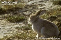 Immature arctic hare - View amazing Arctic hare photos - Lepus arcticus - on Arkive Arctic Hare, Kangaroo, Animals, Google Search, Baby Bjorn, Animales, Animaux, Animal, Animais
