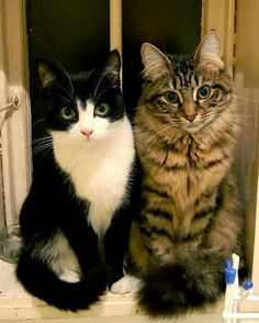 Swooning over these twin cats with mesmerizing eyes