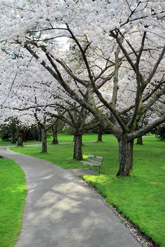 Cherry Blossoms in Stanley park Vancouver