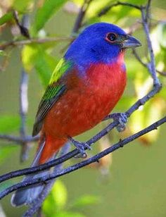 Painted bunting via Carol's Country Sunshine on Facebook