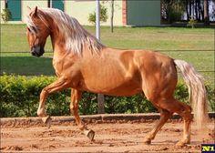 Lusitano horse Baio