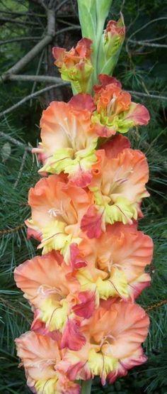 Gladiolus 'Budgies Song' (Gladiolus x hortulanus)