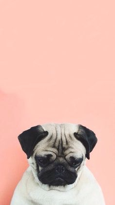 pugs wallpaper | Tumblr