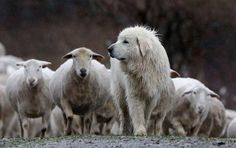 Great Pyrenees with his sheep, which gather near their guardian for safety if they detect a scent or hear a noise that disturbs them Pyrenees Puppies, Great Pyrenees Dog, Maremma Sheepdog, Farm Dogs, White Dogs, Mountain Dogs, Big Dogs, Animals Beautiful, Animals And Pets