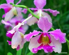 Orchid 'Vanda Miss Joachim' (National Flower of Singapore)