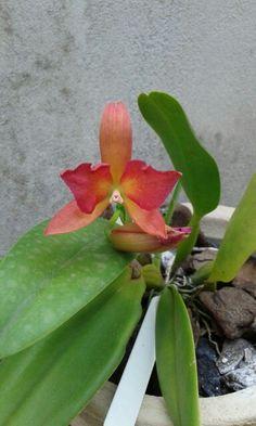 Primeira florada