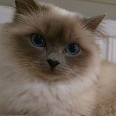 This sweetheart is soon in heat too.... #minivaniljer #mazarin #birma #birman #breeder #catsofinstagram #chokladochvanilj #pinkalicious #welovecats #we_love_cats #bestcats_oftheworld #excellent_cats #birmavanner