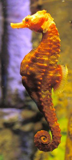 Seahorse by SilverVulpine.deviantart.com