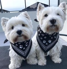 """It was National Bandana Day today for """"Canteen"""" children's cancer and we are supporting them by wearing these pawsome bandanas‼️ 🐾 🐾 Westies, Westie Puppies, Cute Puppies, Doggies, West Highland White Terrier, Sweet Dogs, Cutest Dog Ever, Malteser, White Dogs"""