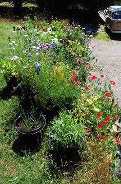 The bucket garden last year. Found on: http://higgledygarden.com/