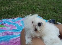 Maltese.  Dog.  Love.