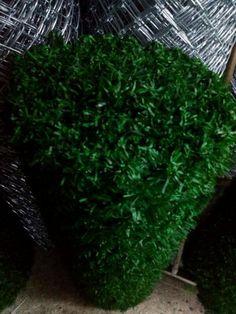 Cimcit #cit #telcit Herbs, Plants, Herb, Flora, Plant, Planting