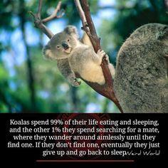 Photo: Koalas love to sleep. :)