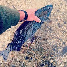Sight fishing for grayling. New blog by David Southall. Link in bio. #sunrayflyfish #microthinflylines #flyfish #flyfishing #grayling