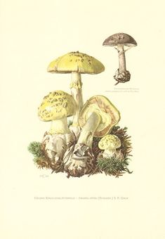 1964 False Death Cap Amanita citrina and by CabinetOfTreasures