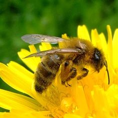 A Honey Bee Menu for Pollen and Nectar   Rodale's Organic Life