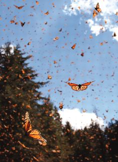 Migrating monarch butterflies (Danaus plexippus) travel south for hundreds of miles in the fall, flying at a speed of approximately 10km/hr. Photo from sciencemag.org
