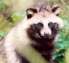 """This is a unique kind of wild dog - marked like a raccoon, with curved claws enabling it to climb trees, and """"hibernating"""". The raccoon-dog is about the size of a fox but has shorter legs and a shorter tail. The body weight ranges from 4-6 kg in summer, but may reach close to 10 kg before winter hibernation. The fur is long and dense, especially in winter. Its general colour is yellowish-brown. The shoulder, tip of tail and legs are blackish. The facial markings resemble those of a raccoon."""