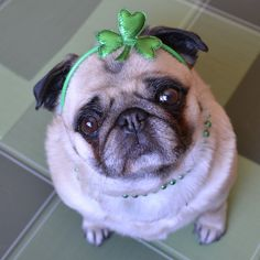 Bailey Puggins the Irish Pug!