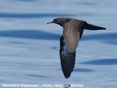 Annotated List of the Seabirds of the World -- Heinroth's Shearwater