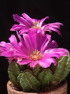 Echinocereus viereckii ssp. morricalii