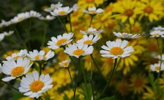 Chamomile and it's many uses..   http://www.care2.com/greenliving/5-remarkable-skincare-benefits-of-chamomile.html