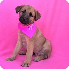 Burbank, CA - German Shepherd Dog/Husky Mix. Meet Angie, a puppy for adoption. http://www.adoptapet.com/pet/18407895-burbank-california-german-shepherd-dog-mix