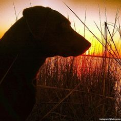 Awesome shot of a lab covering the morning sunrise on the Pamlico Sound.