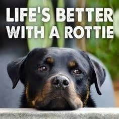 ... on Pinterest | Rottweilers, Rottweiler Puppies and Rottweiler Funny