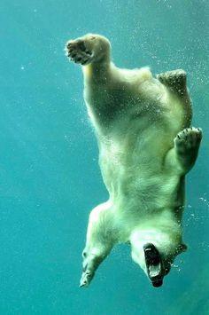 Swiming bear