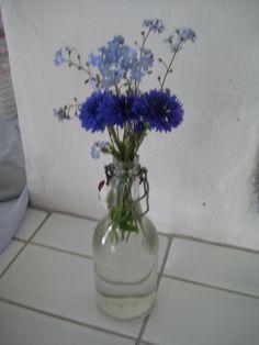 #blomma, blåklint, förgetmigej