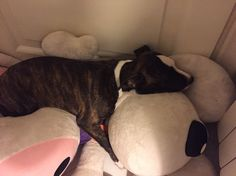 American stafforshide terrier loves slepping