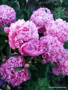 Peonies, one of my favorite flowers, here's hoping they bloom in my garden this year Pretty In Pink, Beautiful Flowers, Beautiful Things, My French Country Home, Dream Garden, Garden Inspiration, Beautiful Gardens, Shrubs, Garden Landscaping