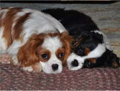 Cute Cavalier King Charles Spaniel puppies - I just can't deal with the cuteness ;)