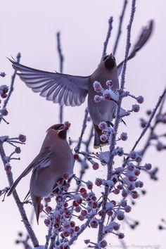 Birds in Snowy Tree - Nice Shot !