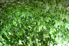 planta nasturel are beneficii nemaivazute