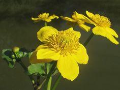 Caltha palustris Dotterbloem