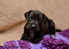 Vulpine Great Danes - Past Puppies - Home of Champion bred American and European lined Great Danes. Black Great Dane Puppy, Black Great Danes, Great Dane Dogs, Great Dane Temperament, Irish Wolfhound, Hunting Dogs, Dog Show, Dane Puppies, Working Dogs