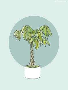 How to Care for and Grow Your Braided Money Tree — La Résidence · Plant Care Tips and More