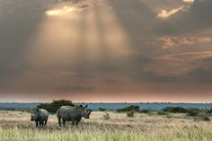 #white rhino @ phinda private game reserve in South Africa. Check our #Phinda travel guide at www.safaribookings.com/phinda.