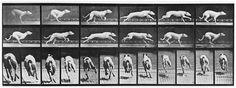 Muybridge dog