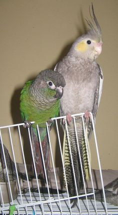 1000+ images about Conure on Pinterest | Sun, Pet search ...