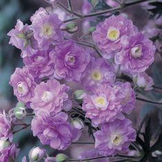 Geranium pratense 'Summer Skies' (Hardy) - Cottage Garden Plants