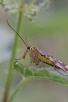 Skorpionsfliege - Makrofotografie - MakroMontag - glasklar+kunterbunt