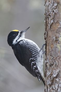 black backed woodpecker male (Picoides arcticus)